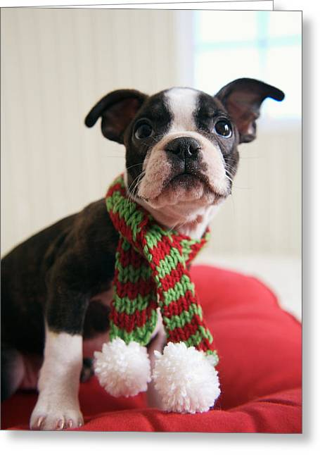 Striped Scarf Greeting Cards - Puppy Wearing Red And Green Striped Greeting Card by Gillham Studios