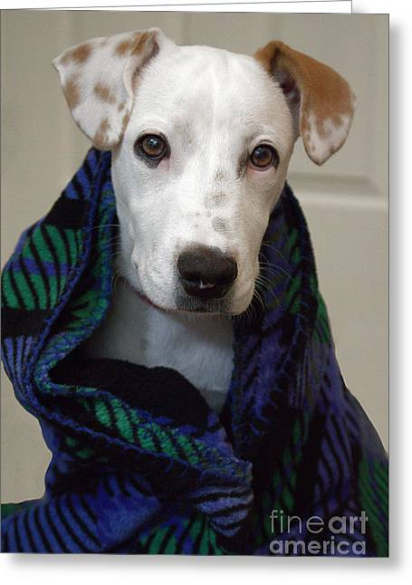 Doggies Greeting Cards - Puppy Wrapped in Blanket Greeting Card by Ella Kaye Dickey