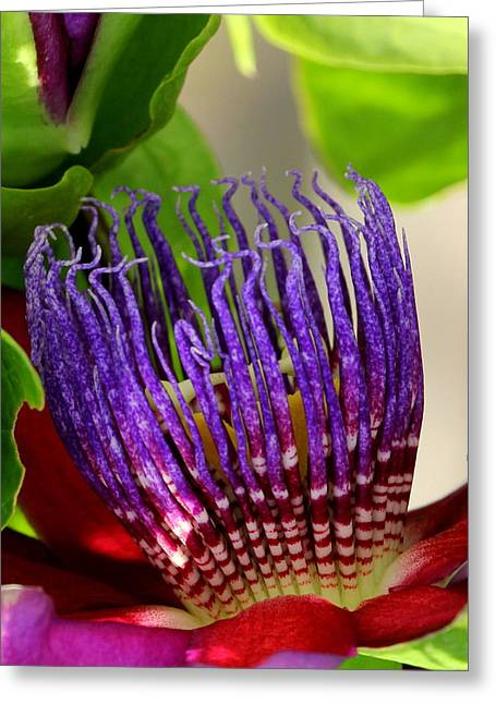 Passiflora Greeting Cards - Puprle Passion Greeting Card by Sean Allen