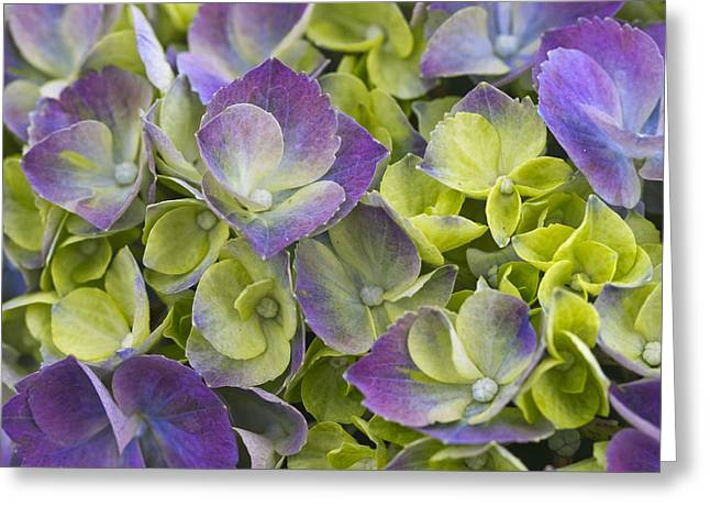 Keukenhof Gardens Greeting Cards - Purple and Lime Greeting Card by Eggers   Photography