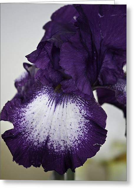 White Beard Greeting Cards - Purple and White Iris Bloom Greeting Card by Teresa Mucha