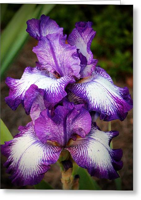 Stamen Digital Greeting Cards - Purple And White Iris Greeting Card by Cynthia Guinn