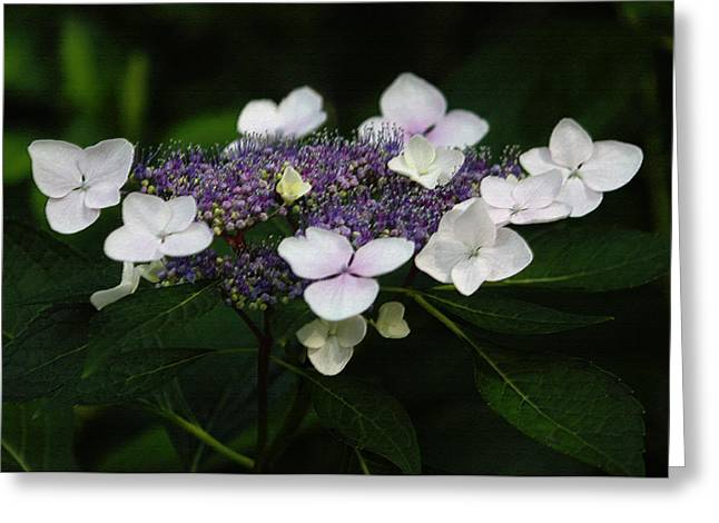 Floral Digital Art Greeting Cards - Purple and White Lacecap Hydrangea in Pastel Greeting Card by Suzanne Gaff