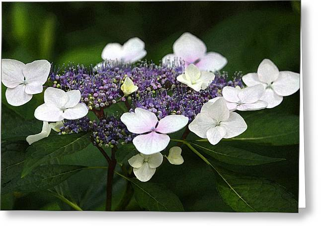 Floral Digital Art Greeting Cards - Purple and White Lacecap Hydrangea in Watercolor Greeting Card by Suzanne Gaff