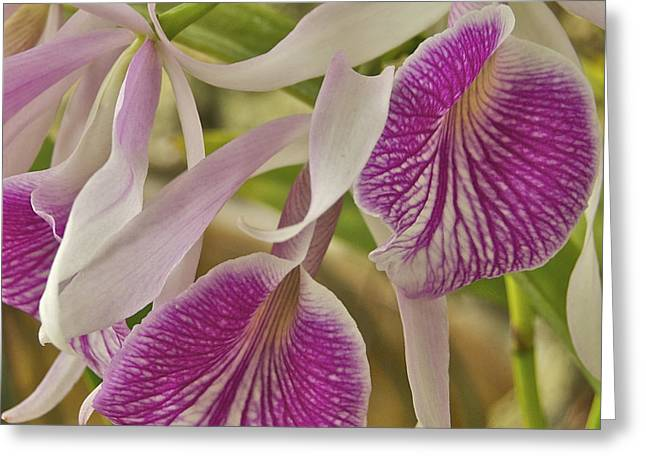 Peychich Greeting Cards - Purple and White Orchid 2 Greeting Card by Michael Peychich