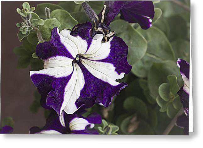 Flower Design Greeting Cards - Purple and White Petunia Greeting Card by William Sturgell