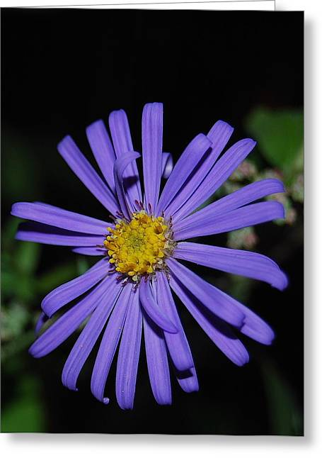 Asters Greeting Cards - Purple Aster Greeting Card by Michael Peychich