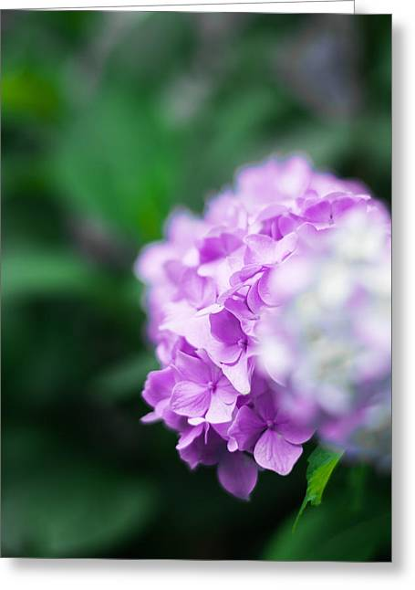Crisp Greeting Cards - Purple Blossoms Greeting Card by Shelby  Young