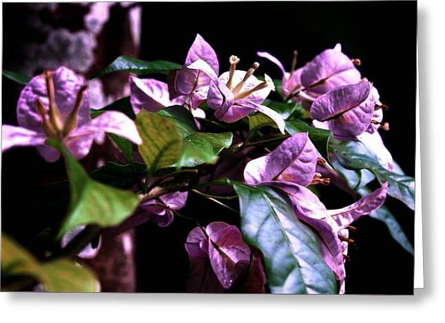 Nyctaginaceae Greeting Cards - Purple Bougainvilleas Greeting Card by Lynn L