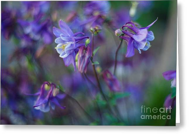 Depth Of Field Greeting Cards - Purple Columbine Montage Greeting Card by Mike Reid