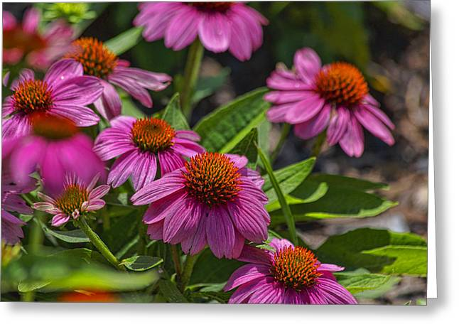 Tn Greeting Cards - Purple Coneflowers Greeting Card by TN Fairey