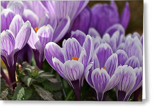 Macro Photography Pyrography Greeting Cards - Purple Crocuses Greeting Card by Calvin Nelson