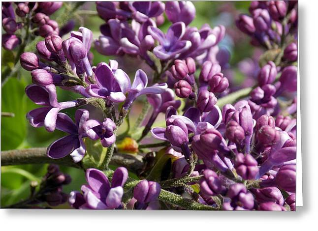 Maine Spring Greeting Cards - Purple Explosion Greeting Card by William Tasker