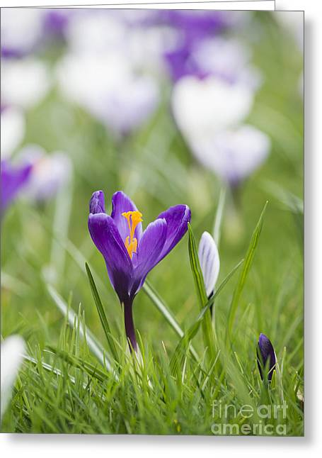 Crocus Flower Greeting Cards - Purple Glory Greeting Card by Tim Gainey