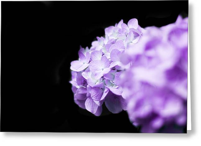 Crisp Greeting Cards - Purple Hydrangea on Black Greeting Card by Shelby  Young
