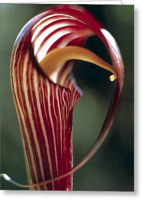 Wildflower Photograph Greeting Cards - Purple Jack in Pulpit Greeting Card by American School