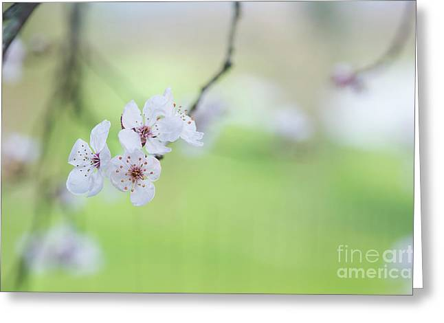 Purple Leaved Cherry Plum Blossom Greeting Card by Tim Gainey