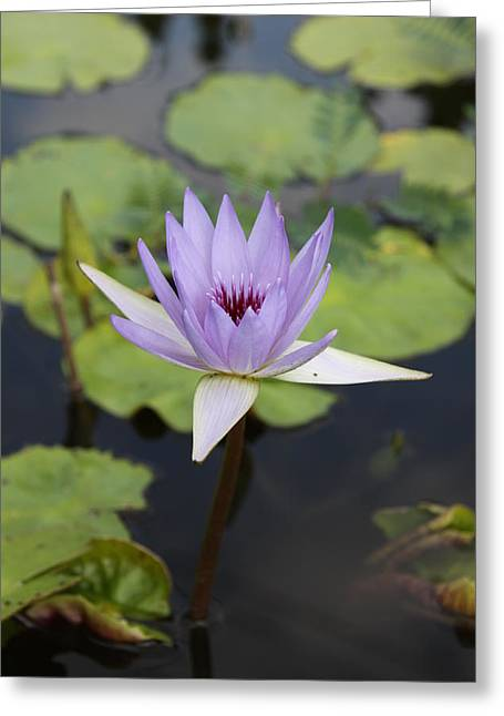 Recently Sold -  - Bloosom Greeting Cards - Purple Lotus Greeting Card by Christiane Schulze Art And Photography