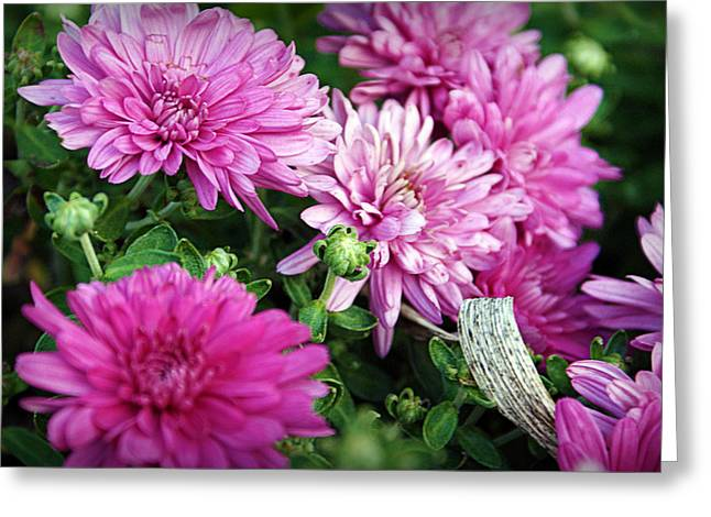 Hartsburg Greeting Cards - Purple Mums Greeting Card by Cricket Hackmann