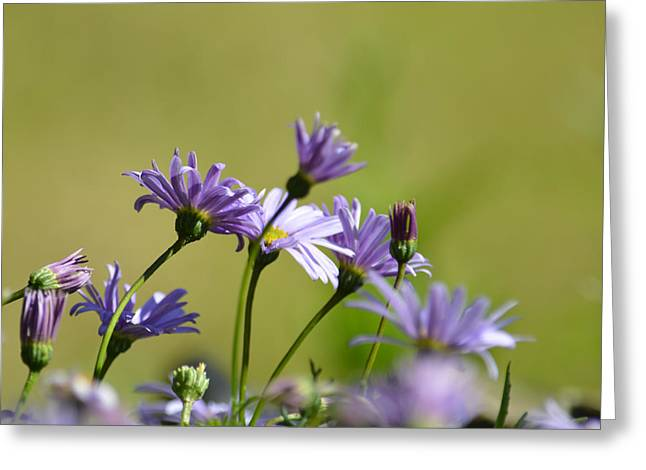 Aster Greeting Cards - Purple petals Greeting Card by Sharon Lisa Clarke