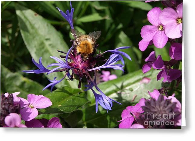 Centaurea Montana Greeting Cards - Purple pollination Greeting Card by Richard Brookes