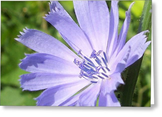 Anna Villarreal Garbis Greeting Cards - Purple Prairie Flower Greeting Card by Anna Villarreal Garbis