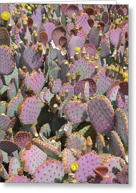 Blooms Greeting Cards - Purple Prickly Pear 3 Greeting Card by Aimee L Maher Photography and Art