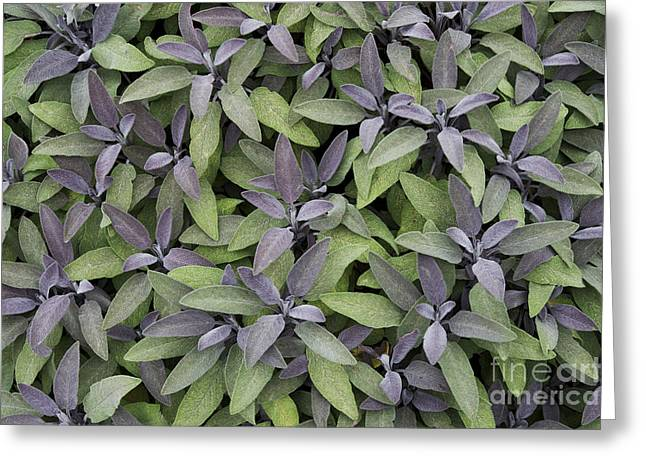Purples Greeting Cards - Purple Sage Greeting Card by Tim Gainey