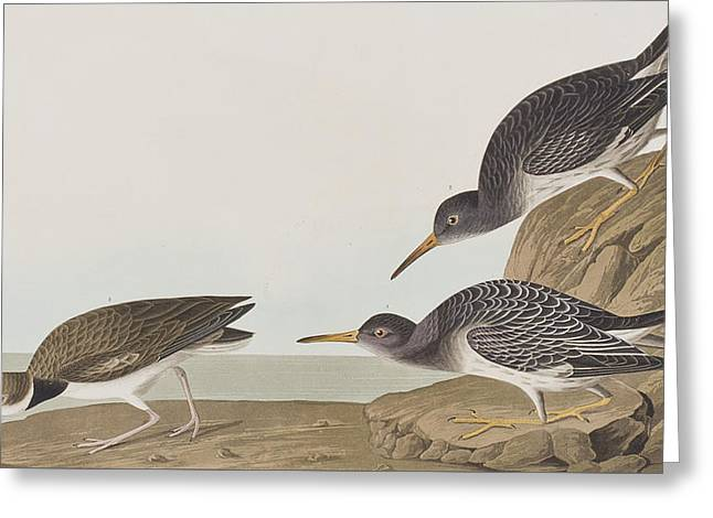 Ocean Shore Drawings Greeting Cards - Purple Sandpiper Greeting Card by John James Audubon