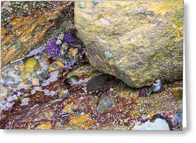 Point Lobos State Greeting Cards - Purple Sea Urchin Greeting Card by Cristi Canepa