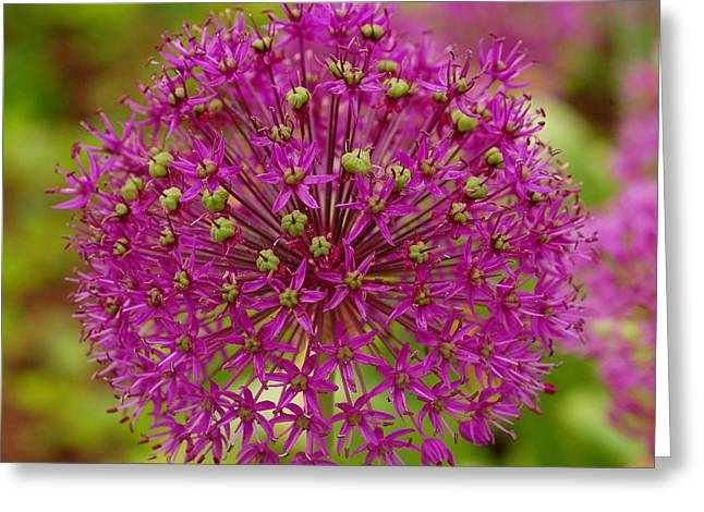 Purple Sensation Greeting Cards - Purple Sensation Flower In Bloom Greeting Card by James DeFazio
