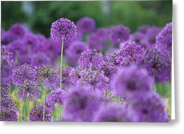 Allium Hollandicum Greeting Cards - Purple Sensations Greeting Card by Nicholas Miller