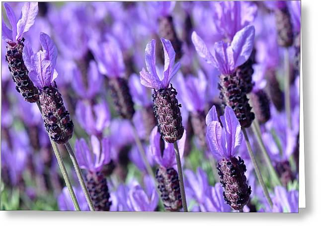 Purple Spanish Lavender Flower Greeting Card by Brandon Bourdages