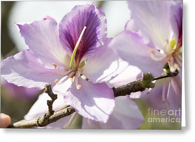 Pinks And Purple Petals Photographs Greeting Cards - Purple Tree Blossom Greeting Card by Darrell Hutto