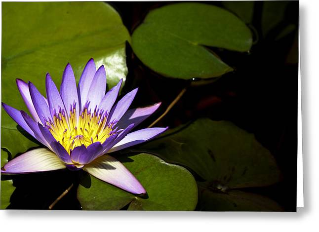 Purple Water Lilly Greeting Card by Teresa Mucha