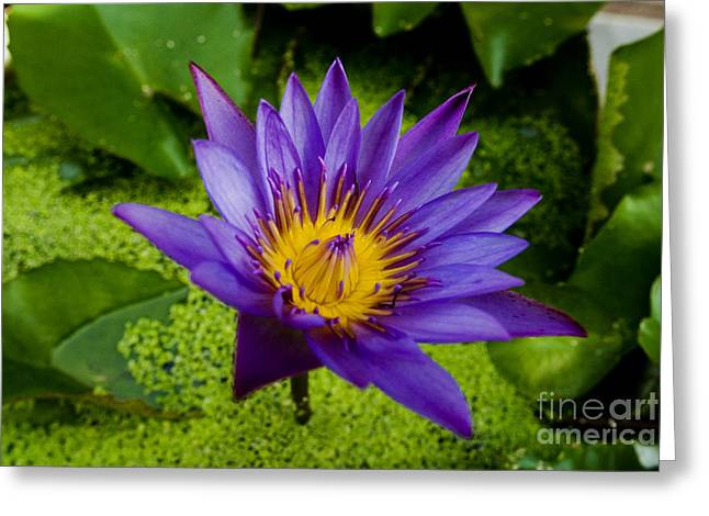 Waterlily Stamen Greeting Cards - Purple Water Lily Greeting Card by Ray Laskowitz - Printscapes