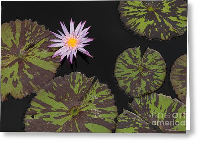 Aquatic Greeting Cards - Purple Water Lily Greeting Card by Stephen Allen
