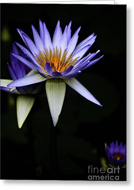 Purple Waterlily Greeting Card by Avalon Fine Art Photography