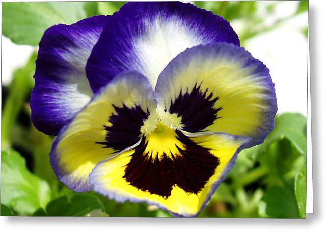 Yelllow Greeting Cards - Purple White and Yellow Pansy Greeting Card by Nancy Mueller