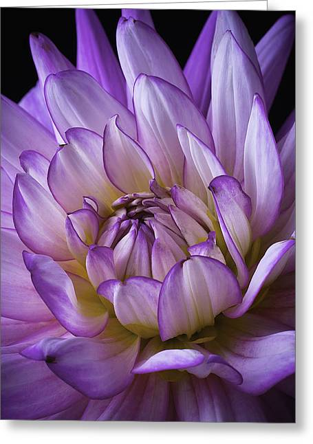 Purple Flora Greeting Cards - Purple White Dahlia Greeting Card by Garry Gay