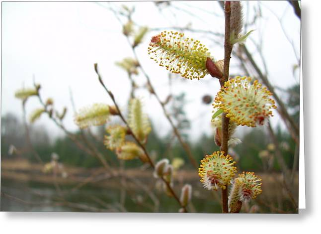 Pussy Willow Blossoms Greeting Card by Kent Lorentzen