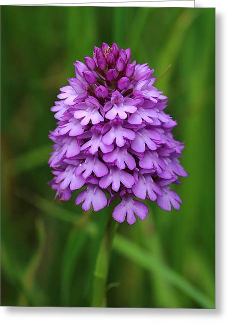 Purple. Wild Orchid Greeting Cards - Pyramidal Orchid Greeting Card by Rumyana Whitcher