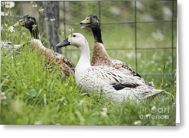 Quack Greeting Card by Juli Scalzi