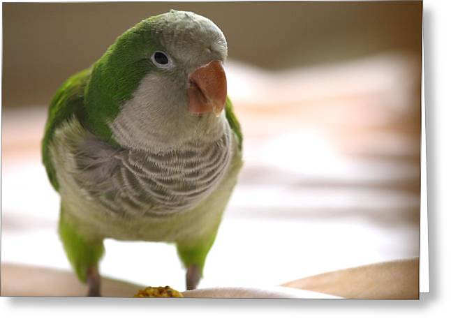 Quaker Parrot Greeting Card by Mark Platt