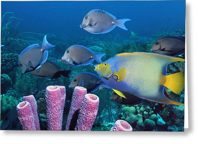 Bonaire Greeting Cards - Queen Angelfish And Blue Tangs Greeting Card by Georgette Douwma