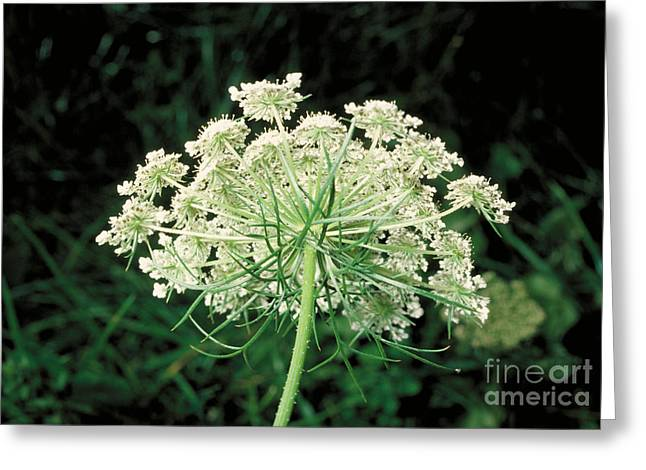 Carota Greeting Cards - Queen Annes Lace Greeting Card by John Kaprielian
