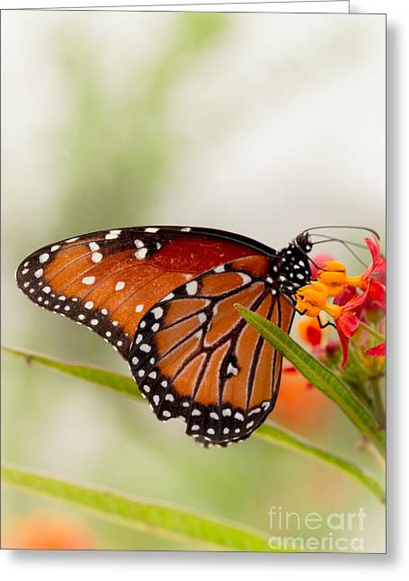 Queen Butterfly Greeting Card by Ana V  Ramirez