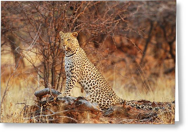 Leopard Photographs Greeting Cards - Queen Of The Bush Greeting Card by Tamara Beltrame