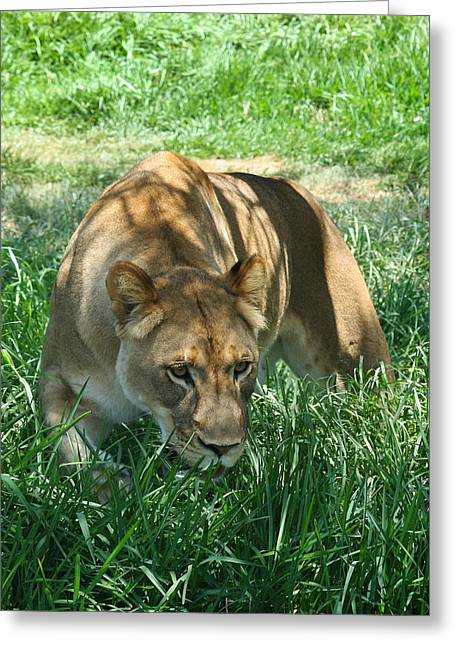 Recently Sold -  - Lioness Greeting Cards - Queen of the Jungle Greeting Card by Mallory Harben