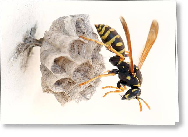 Queen Paper Wasp On Her Nest Greeting Card by Paul Cowan